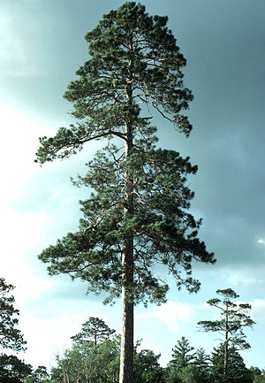 Itasca State Park - Old-growth red pine, Itasca State Park