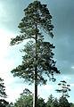 Pinus resinosa Itasca.jpg