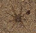 Pisauridae (14332495149).jpg