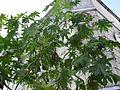Plant aamanakku.JPG
