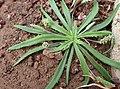 Plantago coronopus kz2.JPG