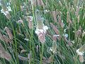 Plantago lanceolata L33.jpg