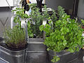 Plantes Aromàtiques 3.jpg