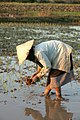 Planting rice seeds in Sekong, Lao, 2001 - AusAid Lao 0139 (10672159423).jpg