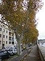 Platane commun en automne à Arles (13).jpg