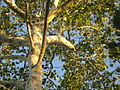 Platanus occidentalis cable-tied Charlottesville.jpg