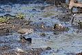Playero Alzacolita, Spotted Sandpiper, Actitis macularius (12510255453).jpg