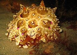 Pleurobranchus mamillatus