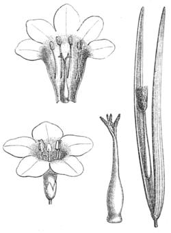 Plocosperma buxifolium.png