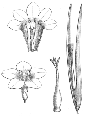 Plocosperma buxifolium, Illustration