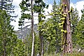 Plumas-Eureka SP mixed conifer forest.jpg