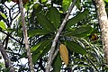 Plumeria rubra 12zz.jpg