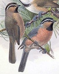 Poecile superciliosus 1889.jpg