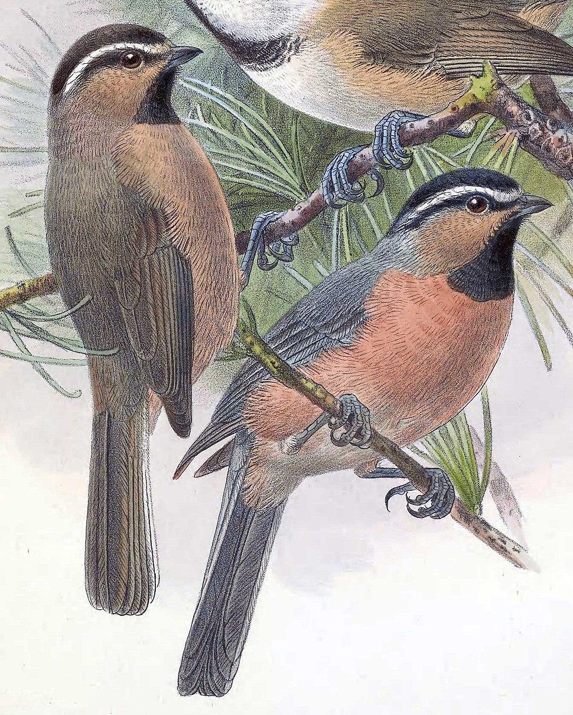 Poecile superciliosus 1889
