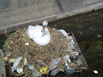 Marine pollution - A mute swan builds a nest using plastic garbage.