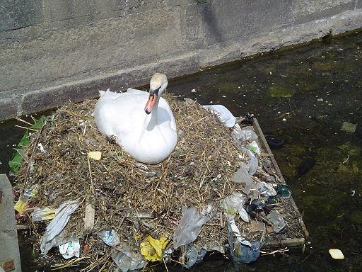 Pollution swan