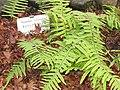 Polypodium formosanum in Koishikawa gardens.jpg
