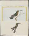 Polytmus gramineus - 1700-1880 - Print - Iconographia Zoologica - Special Collections University of Amsterdam - UBA01 IZ19100055.tif
