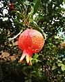Pomegranate plant..jpg
