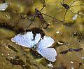 Pond skater - Flickr - gailhampshire.jpg