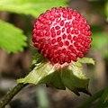 Potentilla hebiichigo (fruits s3).jpg