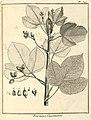 Pourouma guianensis Aublet 1775 pl 341.jpg