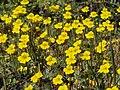Primrose monkeyflower, Erythranthe primuloides (=Mimulus primuloides) (40754986072).jpg