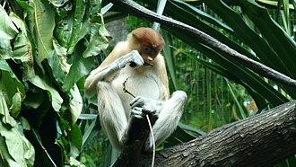 Singapore Zoo - Image: Proboscis monkey singapore zoo