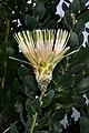 Protea aurea subsp. potbergensis 0276.jpg