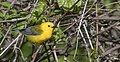 Prothonotary Warbler, Millennium Park, Kent Co., MI, 11 May 2017 (34581460636).jpg
