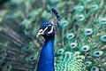 Proud Peacock (Unsplash).jpg