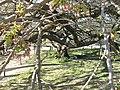 Prunus groupe Sato Zakura 'Shirotae' (Jardin des Plantes de Paris) 3.jpg