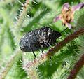 Psacasta exanthematica. u-s - Flickr - gailhampshire.jpg