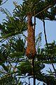 Psarocolius wagleri nest Cockscomb 02.JPG
