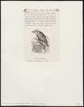 Psittirostra psittacea - 1872 - Print - Iconographia Zoologica - Special Collections University of Amsterdam - UBA01 IZ19000249.tif