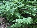 Pteridium aquilinum 1 - Putney Heath Common 2011.08.02.jpg