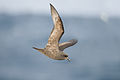 Pterodroma macroptera in flight - SE Tasmania.jpg