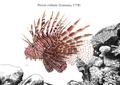 Pterois volitans in habitat.png