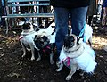 Pugs in sheeps clothing (1796274675).jpg