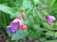 Pulmonaria officinalis.jpeg