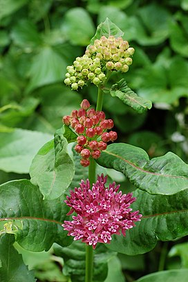Purple Milkweed Asclepias purpurascens Flower Heads 2000px.jpg