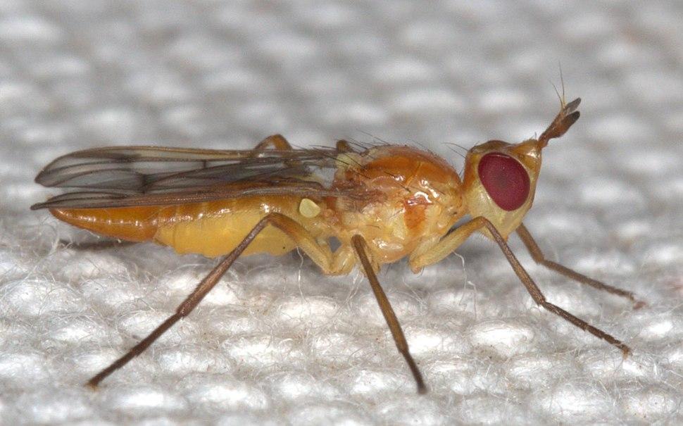 Pyrgotidae Diptera lateral Johan Heyns