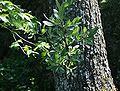 Pyrus elaeagnifolia 1.jpg