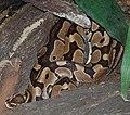 Python regius 070731 a.jpg