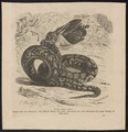 Python sebae - 1700-1880 - Print - Iconographia Zoologica - Special Collections University of Amsterdam - UBA01 IZ11800209.tif