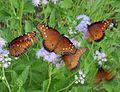 Queen butterflies t.stone.jpg