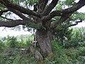 Quercus × rosacea - Natvigeik-2.jpg