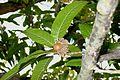 Quercus acutissima BW-5424050.jpg
