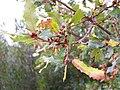 Quercus faginea xQ. canariensis Leaves 2009December13 DehesaBoyaldePuertollano.jpg