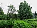 Quercus robur 'Fastigiata' Syrets3.JPG